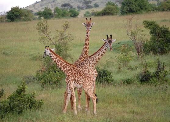 Maasai Mara Kenya, three giraffes