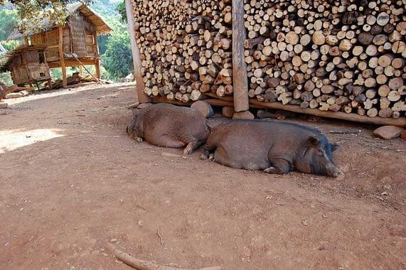 Tad Suong Village Pigs