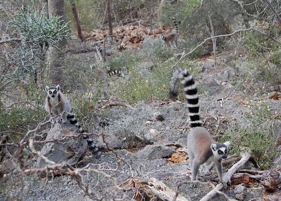 Tsimanampetsotsa National Park - Ring Tail Lemurs