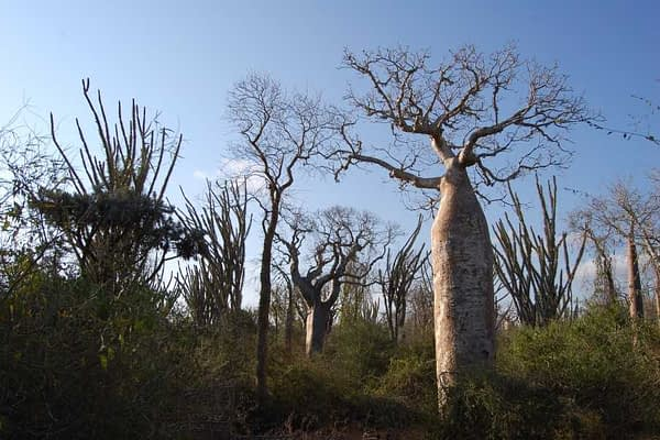 Ifaty Spiny Forest - Baobab trees