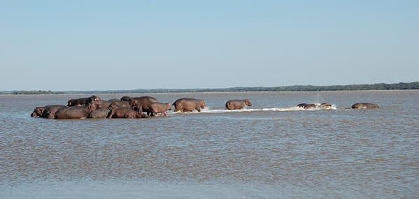 Hippos at Reserva de Maputo