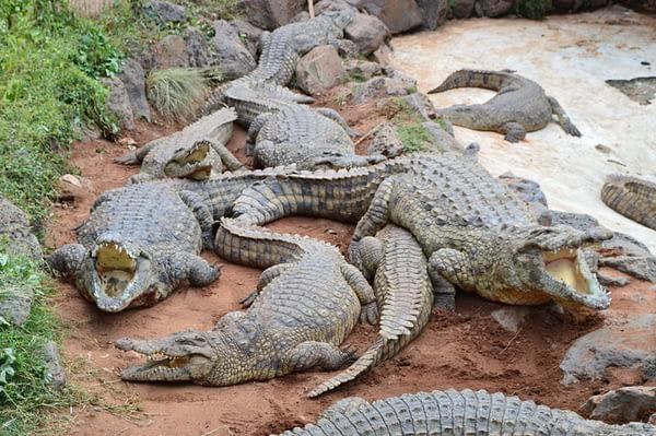 Mamba Village Crocodiles