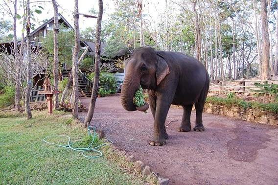 Feeding Elephant Tad Lo lodge
