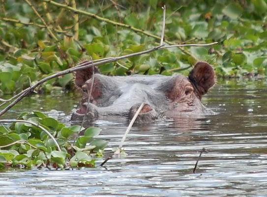Lake Naivasha Kenya Hippo