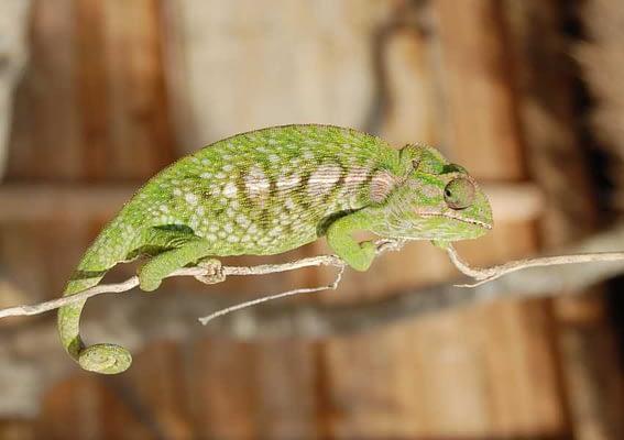 Anakao Madagascar - Chameleon