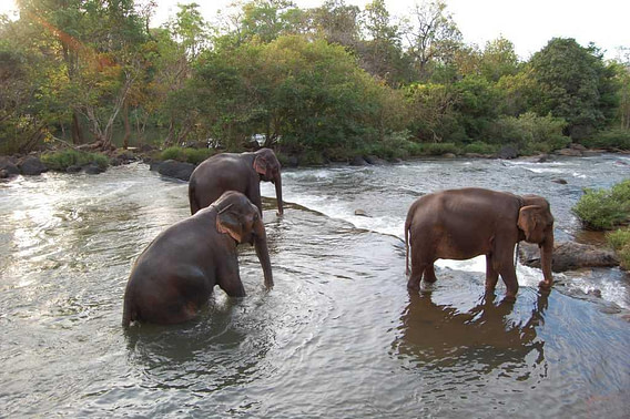 Three bathing elephants Tad Lo